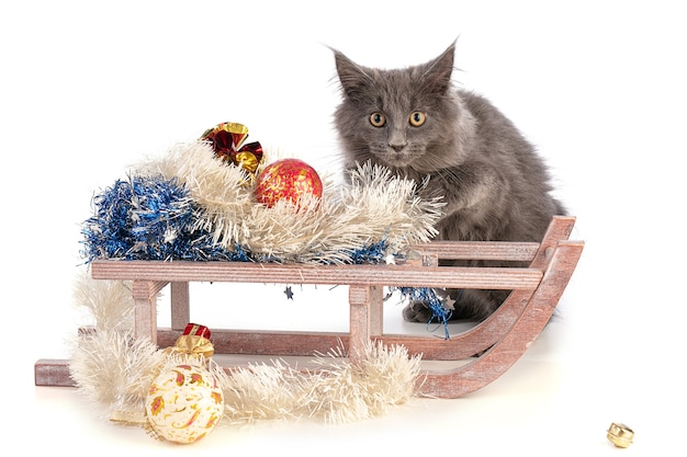 Kätzchen maine coon neben einem weihnachtsschlitten in den ferien