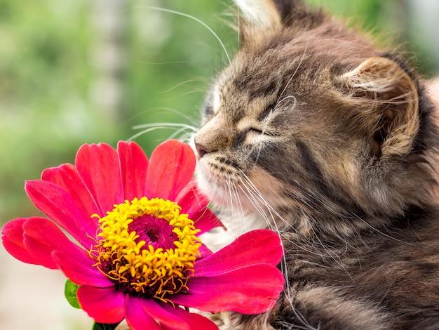 Kätzchen mit geschlossenen augen atmet den duft von zinnien mit roten blüten ein