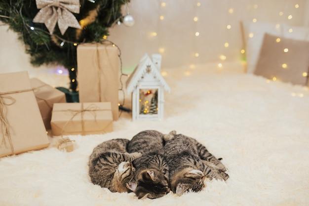 Kätzchen schlafen in der nähe des baumes und weihnachtsgeschenke. Premium Fotos