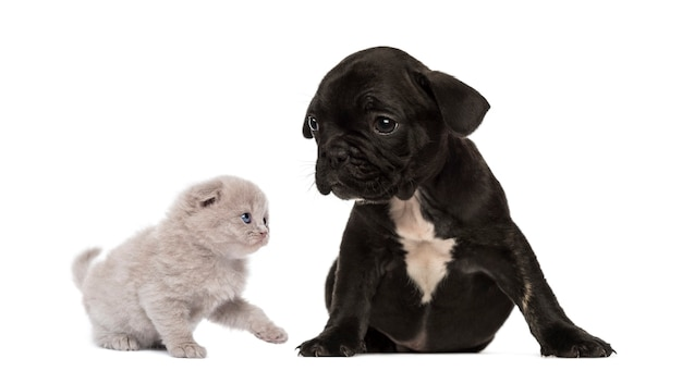 Kätzchen trifft einen sitzenden französischen bulldoggenwelpen