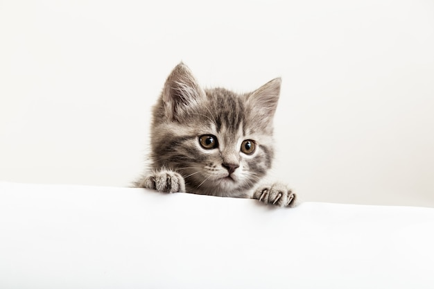 Kätzchen überraschtes porträt mit pfoten, die über leere weiße schilder-plakatblickseite spähen. tabby-babykatze auf plakatschablone. haustierkätzchen, das neugierig hinter weißen fahnenhintergrund mit kopienraum späht.