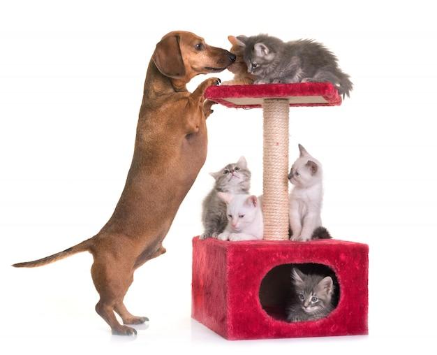 Kätzchen und dackel