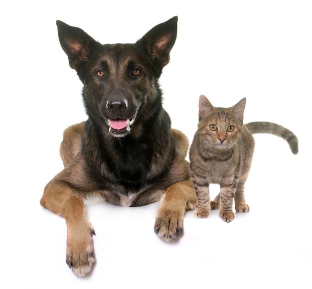 Kätzchen und malinois