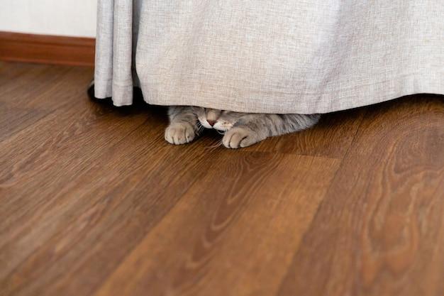 Kätzchen versteckte sich hinter vorhang. katzenpfoten ragen unter dem vorhang hervor. platz für text kopieren