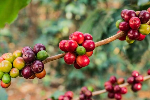 Kaffee auf roher und reifer kaffeebohne des baums arabicas auf dem gebiet und im sonnenlicht.
