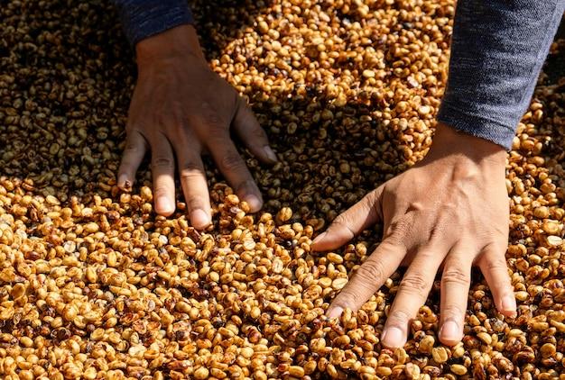 Kaffeebauern wählen kaffeebohnen aus, die der sonne ausgesetzt sind.