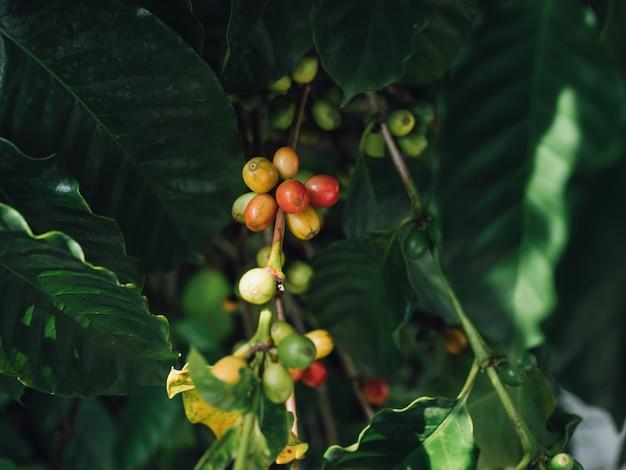 Kaffeebaumarabica-kaffeekirschen mit der landwirthand