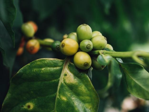 Kaffeebaumarabica-kaffeekirschen