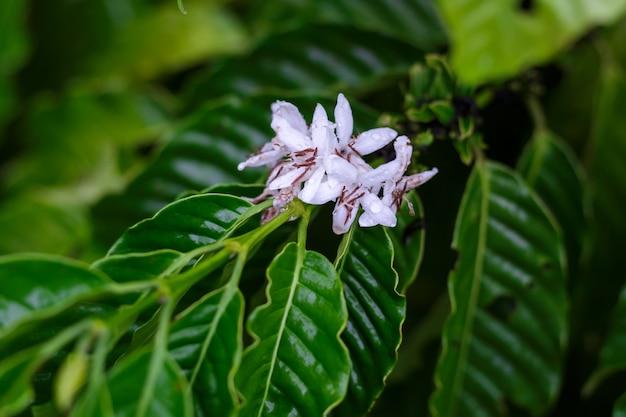 Kaffeebaumblüte mit weißer farbblume nach regnerischem. robusta