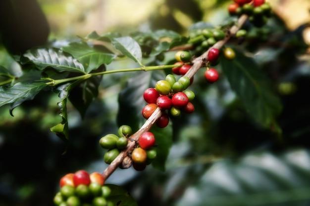 Kaffeebohne, arabicas kaffeebaum