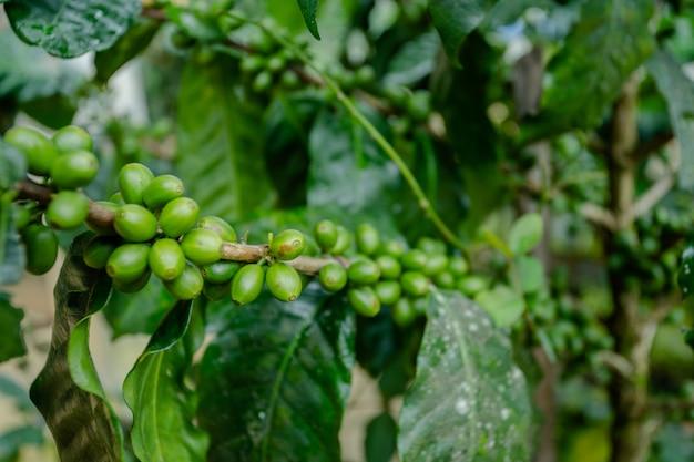 Kaffeebohne auf baum