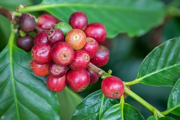 Kaffeebohnen arabica auf baum am berg in farm nordthailand