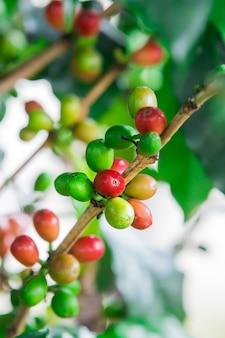 Kaffeebohnen auf der niederlassung. robusta kaffee.