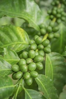 Kaffeebohnen, die auf baum im norden von thailand reifen. frische kaffeekirsche