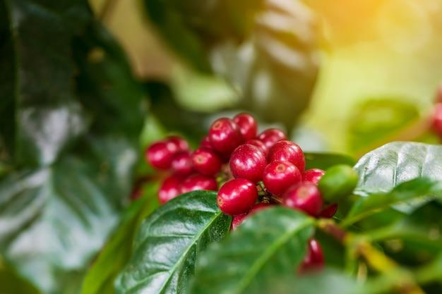 Kaffeebohnen, die auf baum im norden von thailand reifen