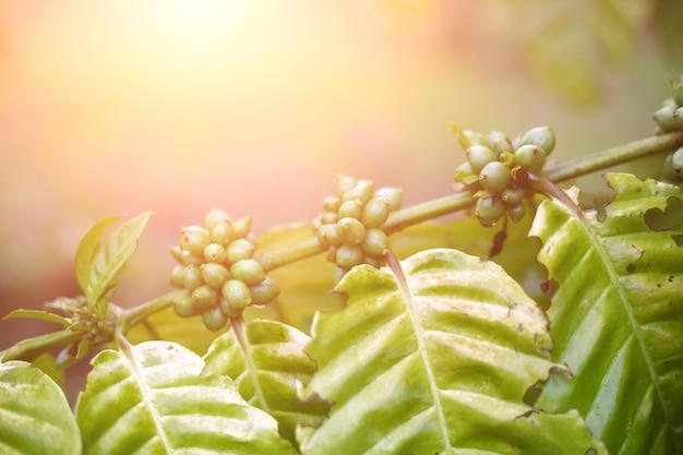 Kaffeebohnen, die auf einem baum reifen. robusta