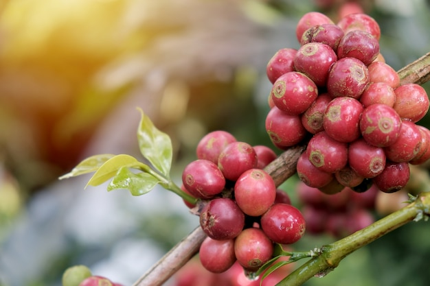 Kaffeebohnen im kaffeegarten