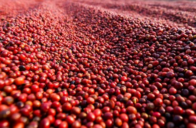 Kaffeebohnen trocknen in der sonne. kaffeeplantagen auf der kaffeefarm