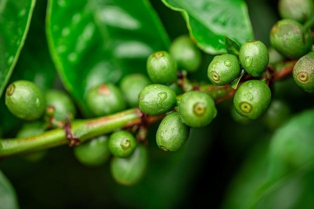 Kaffeekirschen. kaffeebohnen auf kaffeebaum, zweig eines kaffeebaums mit reifen früchten mit tau. konzeptbild.