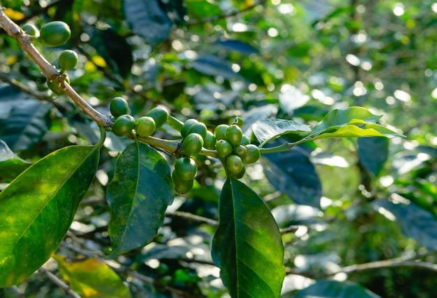 Kaffeepflanze mit grünen früchten. konzept im zusammenhang mit kaffee.