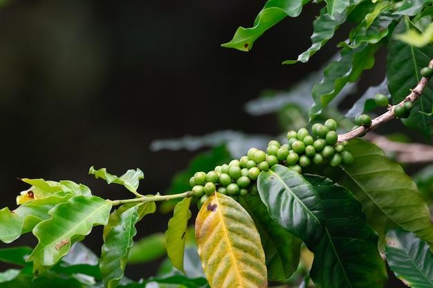 Kaffeeplantage, kaffeeernte