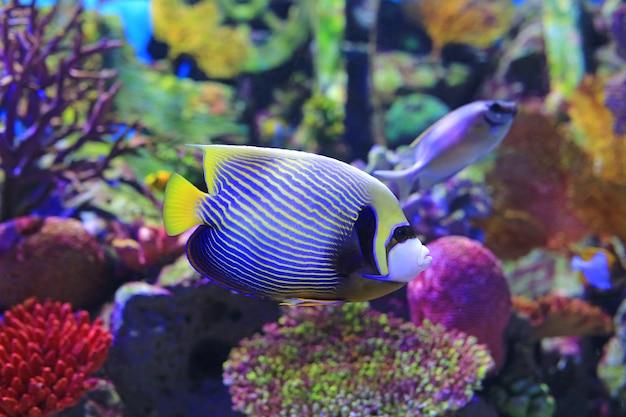 Kaiserfisch, der unter wasser im aquariumbehälter schwimmt.
