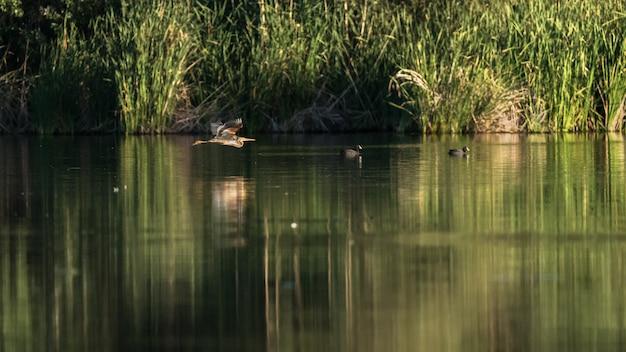 Kaiserreiher, der über lagune an der dämmerung fliegt