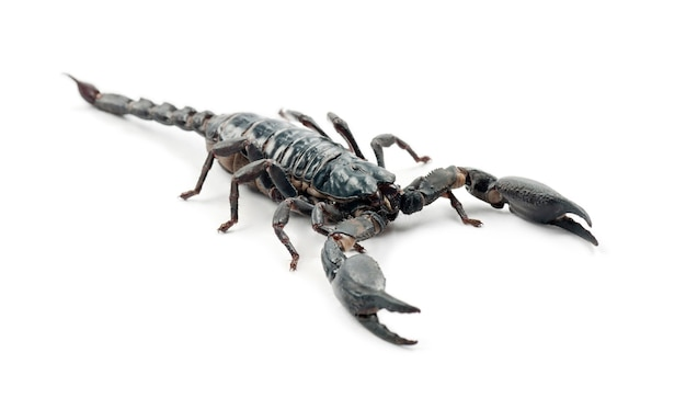 Kaiserskorpion, pandinus imperator, gegen weiße oberfläche