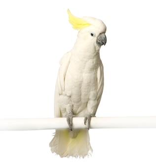 Kakadu isoliert