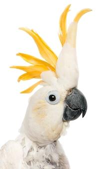 Kakadu mit schwefelhaube