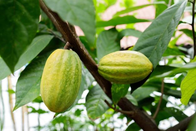 Kakaobaum fruchtschoten hautnah