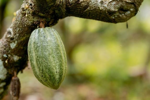 Kakaobaum theobroma cacao bio kakaofruchtschoten in der natur