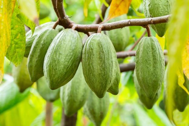 Kakaobaum (theobroma cacao). organische kakaofruchthülsen in der natur.