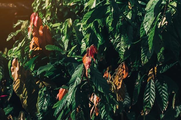 Kakaobaum (theobroma kakao). organische kakaofruchthülsen in der natur