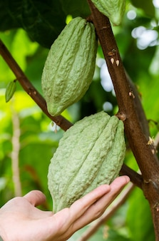Kakaobaum (theobroma kakao). organische kakaofruchthülsen in der natur.