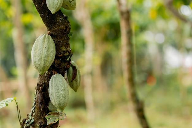Kakaofrucht im baum