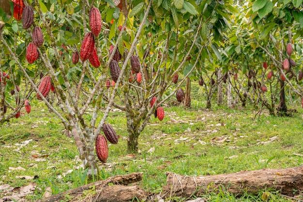 Kakaoplantagen in verschiedenen winkeln