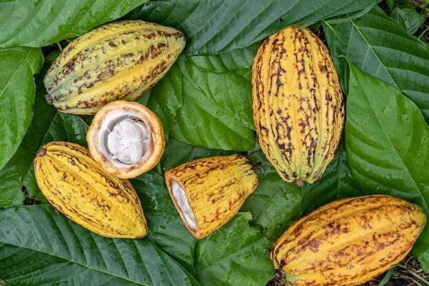 Kakaoschoten und frische kakaofrüchte halbieren