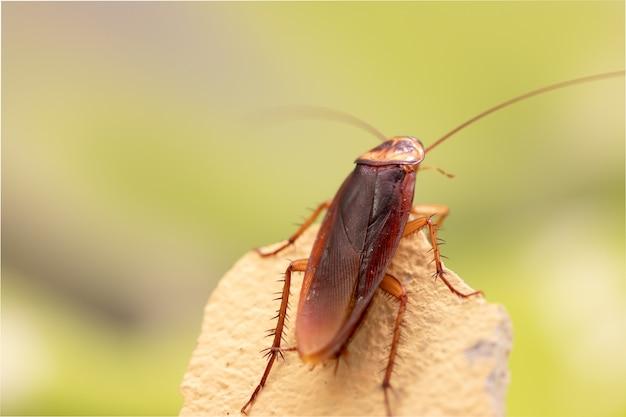 Kakerlake auf holz
