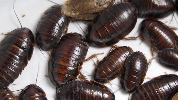 Kakerlaken, die sich auf weißem hintergrund, 4k, selektiver fokus, makro bewegen.