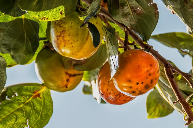 Kaki-frucht reift auf einem ast