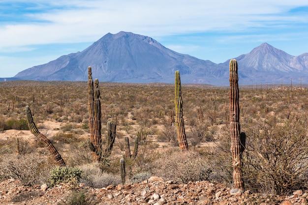 Kakteen in der wüstenlandschaft
