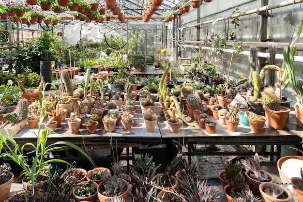 Kakteen und sukkulenten im gewächshaus wachsen in töpfen für den verkauf an das botanische gewächshaus des blumenladens