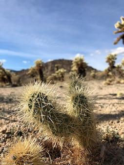 Kaktus auf dem trockenen boden des joshua tree national park, usa