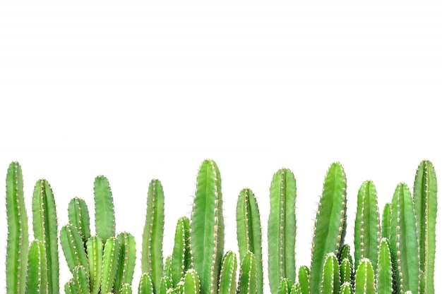 Kaktus auf getrenntem hintergrund