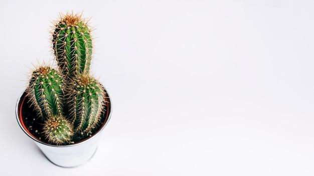 Kaktus auf weißem hintergrund