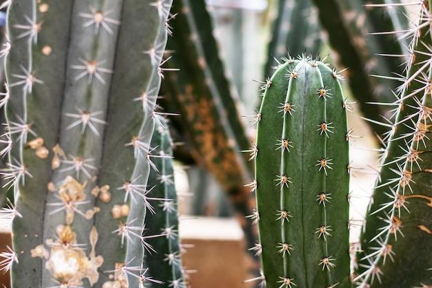 Kaktus der spitze im park mit sonnenlicht.