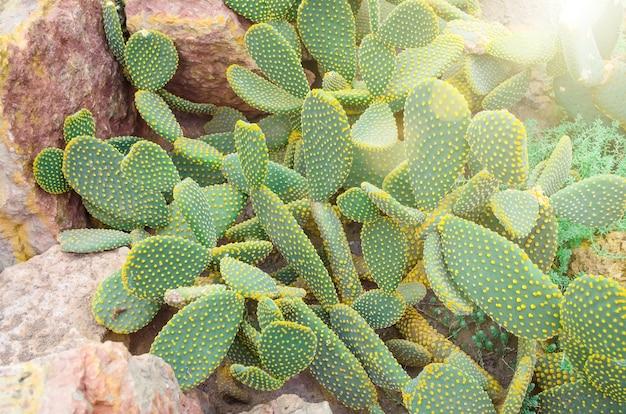 Kaktus in den tropischen wüsten nordamerikas schließen.