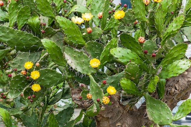 Kaktus in gelben blüten, ein großer kaktusbusch blühte mit gelben blüten