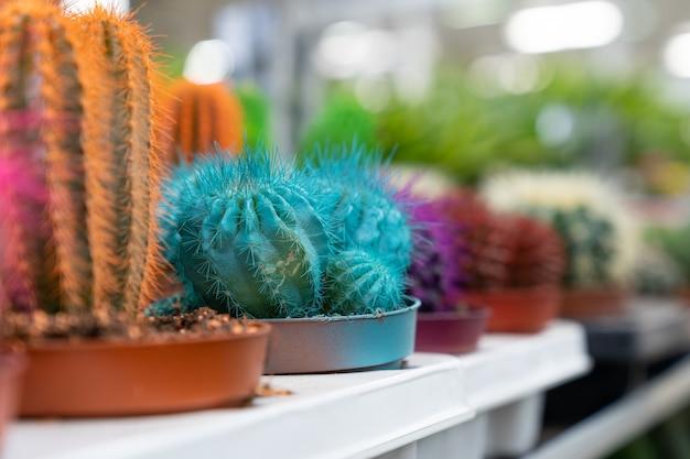 Kaktus in töpfen in gewächshausreihen mit kleinen sukkulenten für zimmerpflanzen, die mit lebendigen dornen wachsen